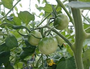 トマト05